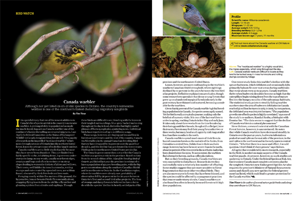 Bird Watch: Canada warbler