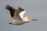 American_White_Pelican_iStockphoto_com_bookguy_51537028_thumbnail