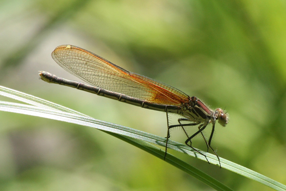 Female American rubyspot, Photo: J.N.Stuart