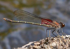 Male American rubyspot, Photo: Noah Cole