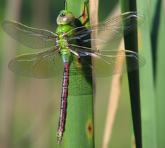 Female green darner, Photo: Lisa Brown