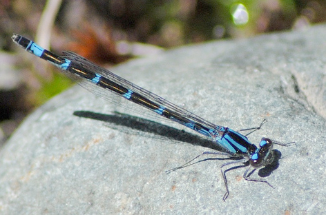 Female boreal bluet, Photo: Mike Ostrowski