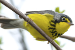 Canada Warbler perched on a branch.