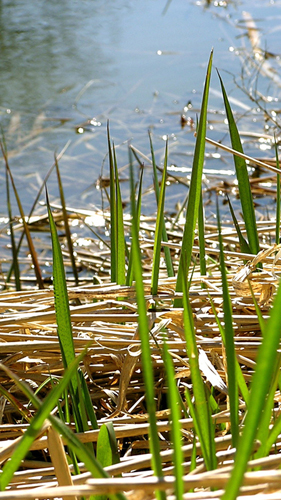 early cattail leaves, Credit: Liz West CC BY 2.0