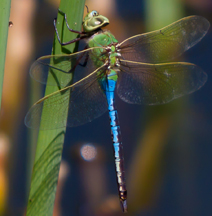 Male common green darner, Photo: Benjamin 1970
