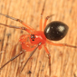dwarf_spider_tom_murray_cc_by-nc-nd_1-0_button
