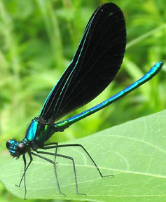 Male ebony jewelwing, Photo: Kerry Wixted