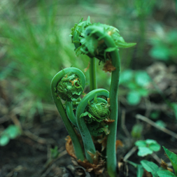 fiddleheads, credit: Victor Crich