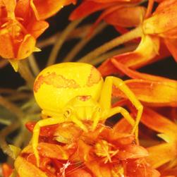 Goldenrod crab spider, Credit: Dan Schneider