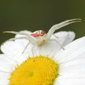Goldenrod Crab Spider_PeterFerguson_button