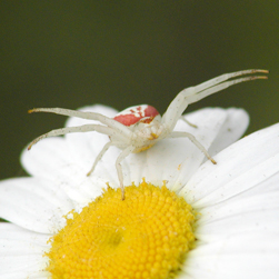 Goldenrod crab spider, Credit: Peter Ferguson