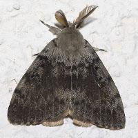 Gypsy moth by Olaf Leillinger