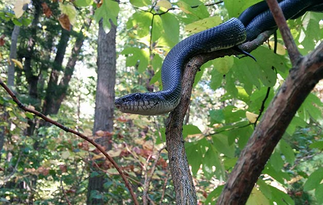 'Hope,' a female ratsnake discovered in Norfolk County by Ontario Nature field staff and partners Natural Resources Solutions Inc.