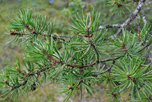 jack pine by AllieKF CC BY-SA 2.0