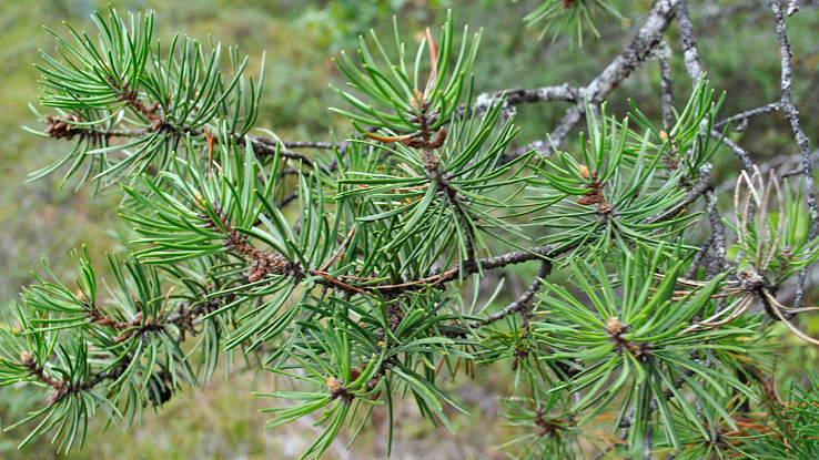 jack pine credit: AllieFK CC BY-SA 2.0