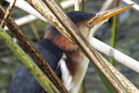 Least_Bittern_iStockphoto_com_passion4nature_49886662_thumbnail
