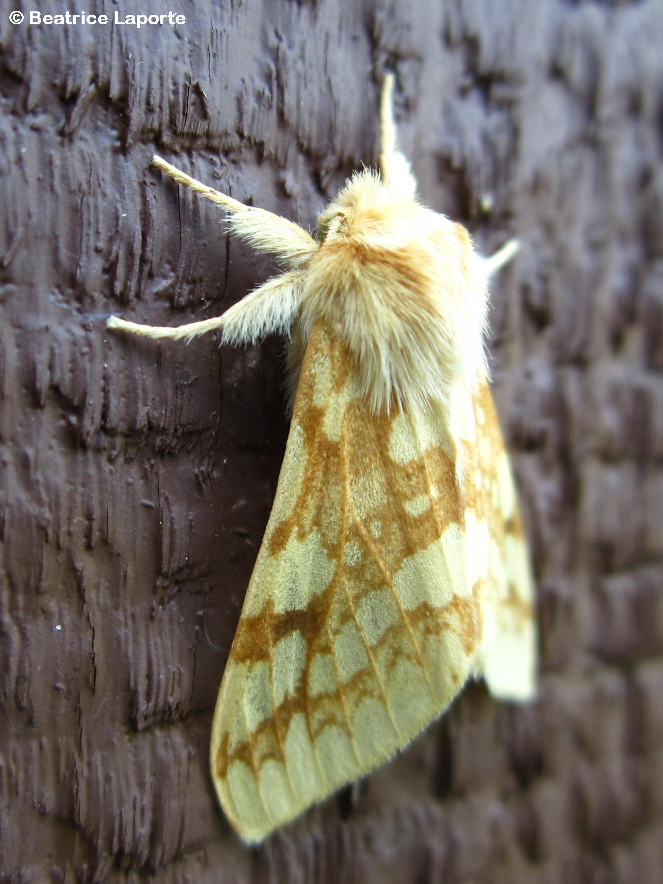 Lophocampa_maculata_Spotted_Tussock Moth_1505_Beatrice_Laporte