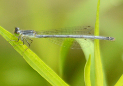 Lost_Bay_f_eastern_forktail_damselfly_15_8_2014_Noah_Cole_ (38)_small