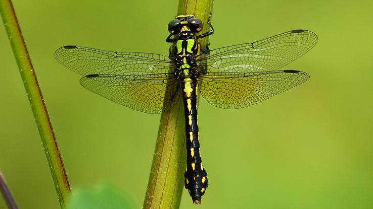 pygmy snaketail dragonfly
