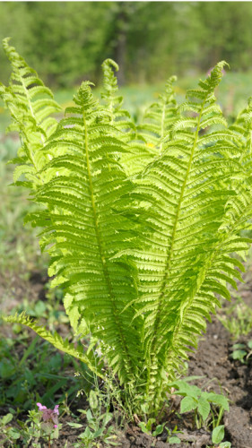 ostrich fern, credit: vblinov/Essentials Collection/Getty Images