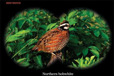 Northern bobwhite