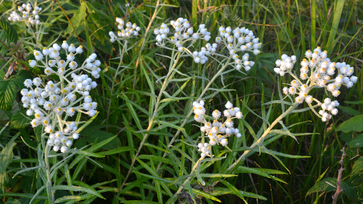 pearly everlasting, <a href=