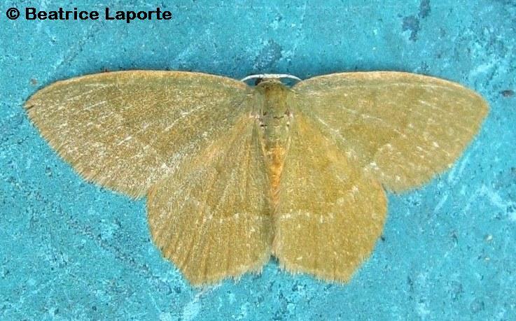 Pistachio_Emerald_moth_1232_Beatrice_Laporte
