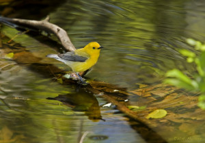 A prothonotary warbler by the shore of a healthy wetland, photo credit: Bill Majoros CC BY-SA 2.0