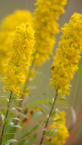 showy goldenrod, credit: Janetandphil CC BY-NC-ND 2.0