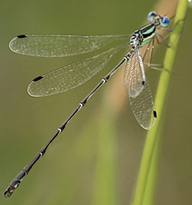 Male slender spreadwing, Photo: Gary Yankech