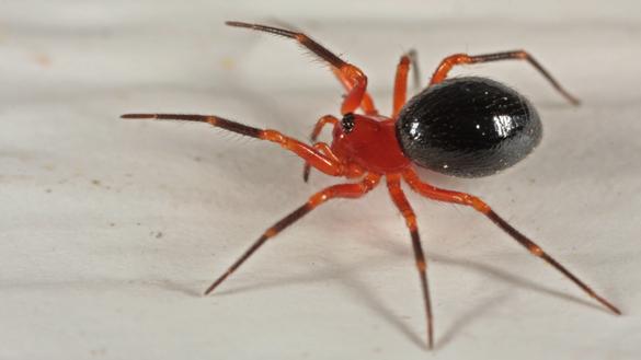 Splendid dwarf spider