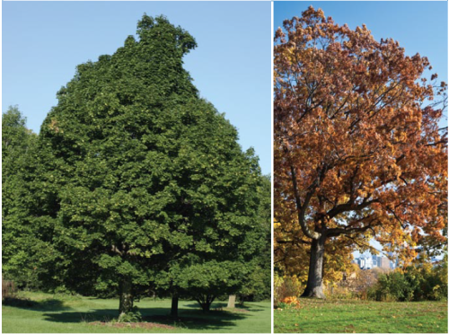 Norway maple and white oak