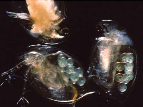 Water flea close-up