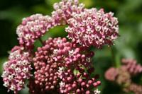 milkweed, TJ Dolan Natural Area, credit: damozeljane CC BY-NC-ND 2.0