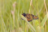 monarch butterfly, TJ Dolan Natural Area, credit: Noah Cole