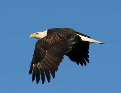 Terry Alexander Bald eagle in flight