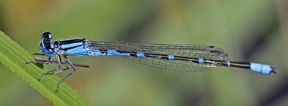 Male Tule bluet, Photo: Jerry Oldenettel