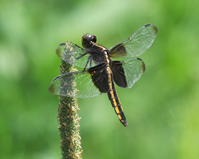 Female widow skimmer, Photo: Stylurus
