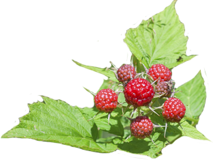 Wild_Raspberry_©iStockphoto_com_Panama7_43617392_web_reduced