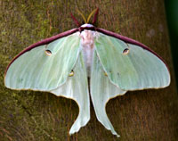 William-Perry_luna-moth_