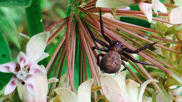 Ground crab spider (Xysticus species)