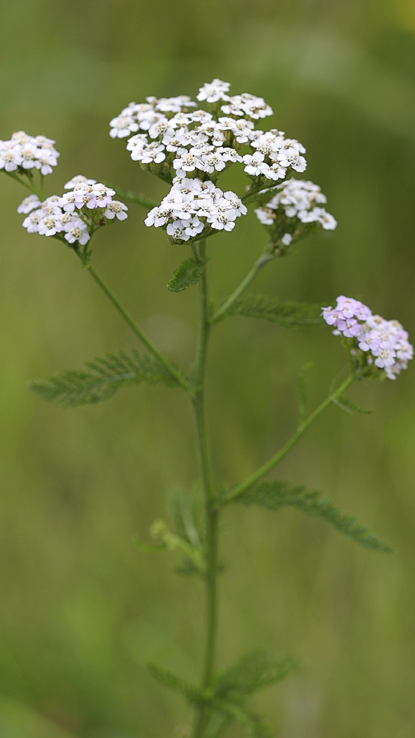 common yarrow, Credit: Getty Images/Signature Collection/Victor Kitaykin