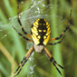 Yellow garden spider - Dan Schneider_button