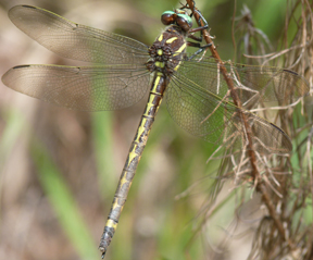 Female arrowhead spiketail, Photo: bgv23