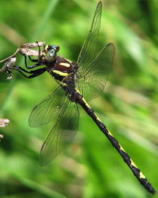 Male arrowhead spiketail, Photo: Lisa Brown