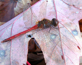 Male autumn meadowhawk, Photo: Per Verdonk