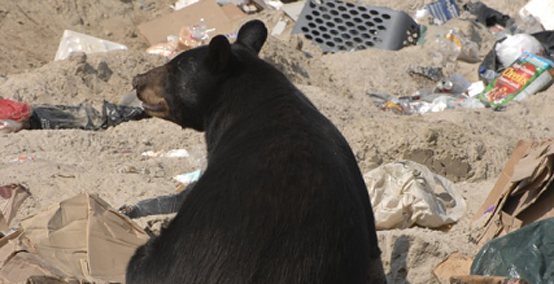 Black bear in dump photo by Noah Cole.