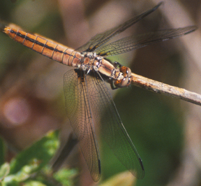 Female chalk-fronted corporal, Photo: Ken Sturm/USFWS