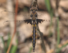 Male common baskettail, Photo: summerazure