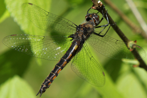 Female common baskettail, Photo: Lisa Brown